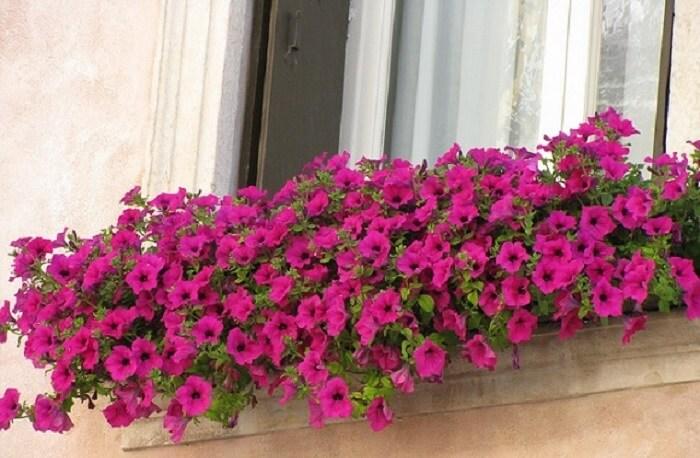 Petúnias cultivadas em lindas floreiras