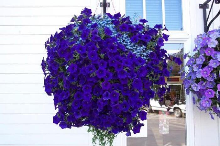 Petúnias cultivadas em vasos chamam atenção de quem passa