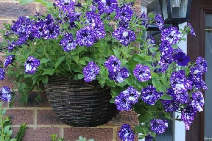 Transborde beleza ao incluir um vaso com petúnia na entrada de casa