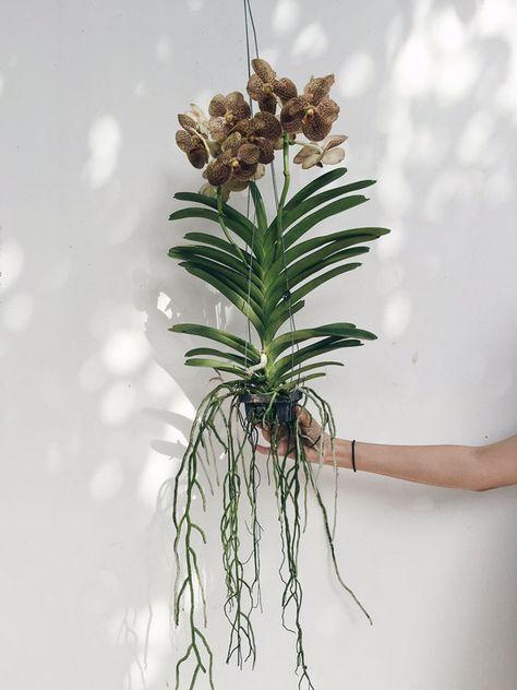orquídea vanda - arranjo grande de orquídea vanda