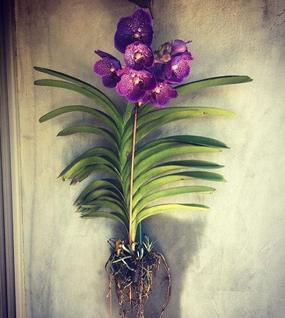 orquídea vanda - arranjo grande de orquídea vanda com muitas folhas