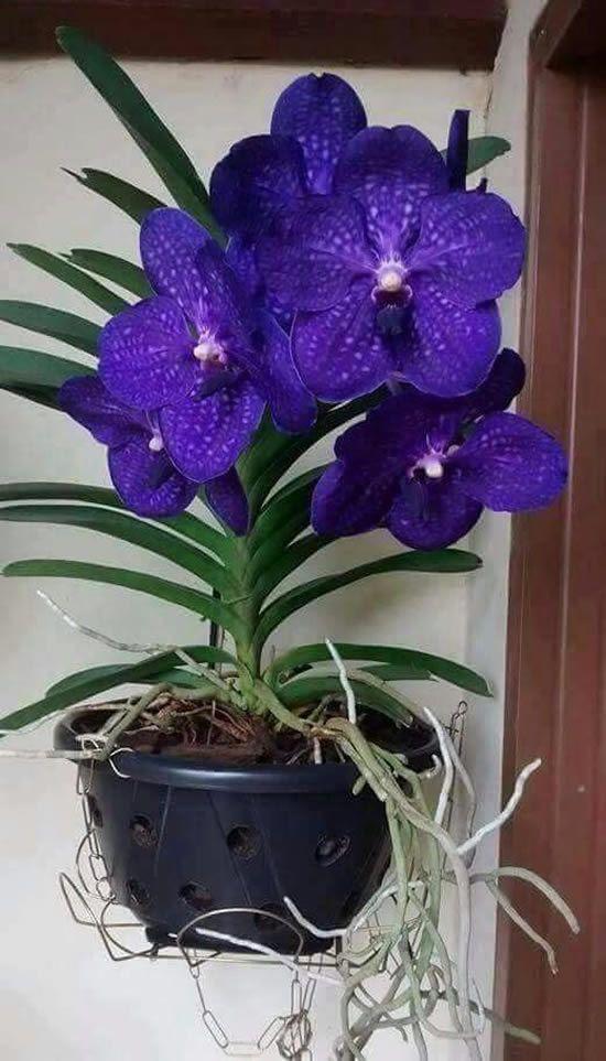 orquídea vanda - arranjo simples de orquídea vanda roxa
