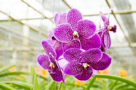 orquídea vanda - arranjo suspenso de orquídea vanda