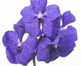 orquídea vanda - close de orquídea vanda azul - Foralia