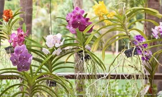orquídea vanda - jardim com orquídeas vandas suspensas