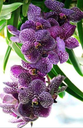 orquídea vanda - orquídea roxa branca