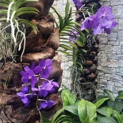 orquídea vanda - orquídea vanda em jardim interno