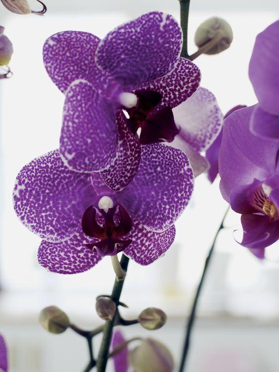 orquídea vanda - orquídea vanda pequena roxa