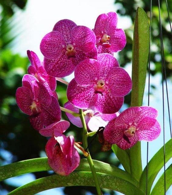 orquídea vanda - orquídea vanda rosa
