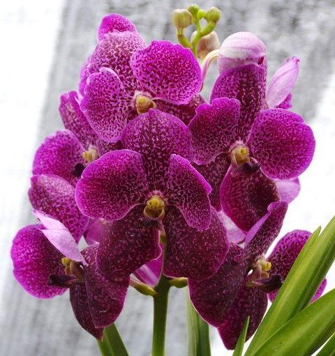 orquídea vanda - orquídea vanda roxa e simples
