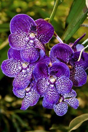orquídea vanda - orquídea vanda roxa simples