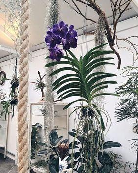 orquídea vanda - orquídea vanda roxa suspensa