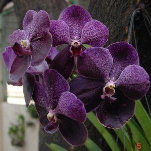 orquídea vanda - orquídea vanda simples roxa