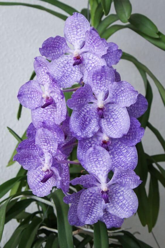 orquídea vanda - orquídea vanda simples roxo claro