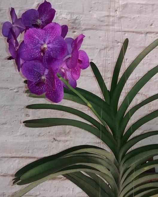 orquídea vanda - orquídea vanda suspensa em parede de tijolos