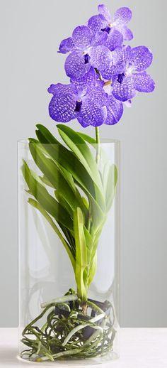 orquídea vanda - orquídea vanda vaso de vidro
