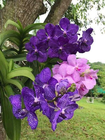 orquídea vanda - orquídeas vandas roxas e rosas