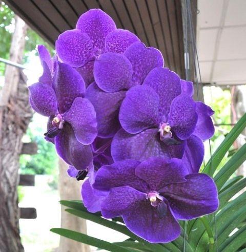 orquídea vanda - orquídeas vandas roxas simples