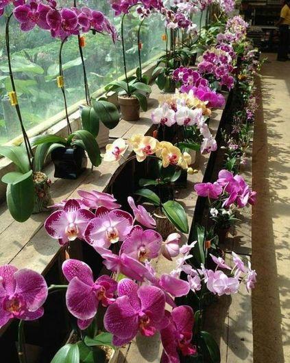 orquídea vanda - stand de orquídeas vandas