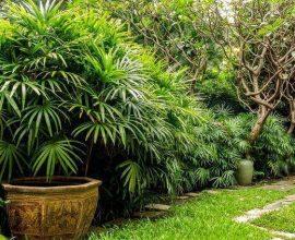 palmeira ráfia - jardim grande com palmeiras ráfia - Pinterest