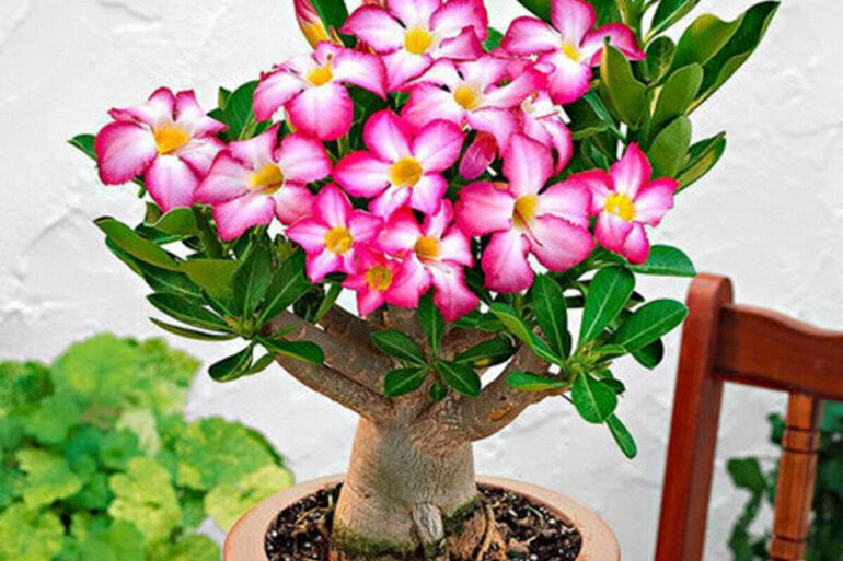 A beleza majestosa da Rosa do Deserto