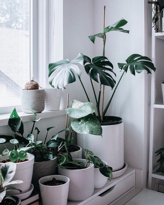 costela de adão - canteiro com vasos de planta