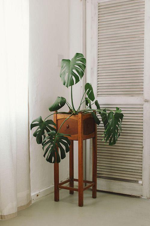 costela de adão - monstera em móvel de madeira