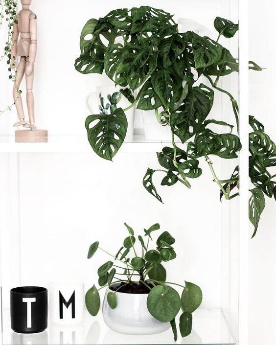 costela de adão - monstera em vaso branco em cima de armário