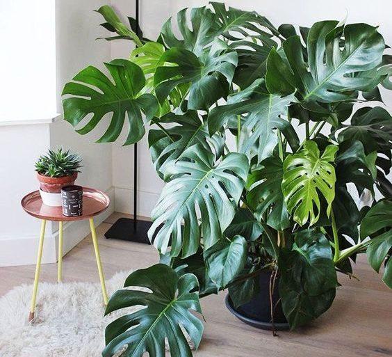 costela de adão - sala de estar com tapete branco e vaso de monstera - Residence Magazine