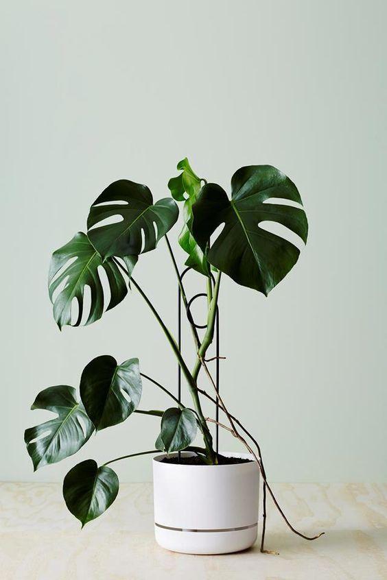 costela de adão - vaso branco simples de monstera