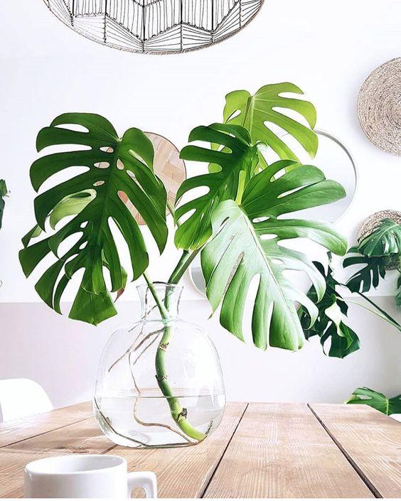 costela de adão - vaso de vidro com folhas de monstera