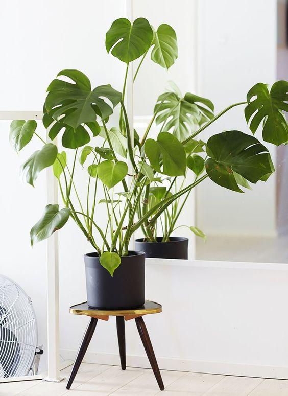 costela de adão - vaso preto com folhas pequenas de monstera