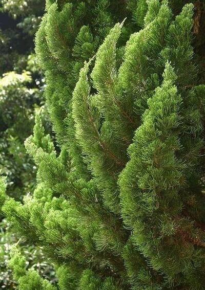 kaizuka - detalhe de folhas da kaizuka