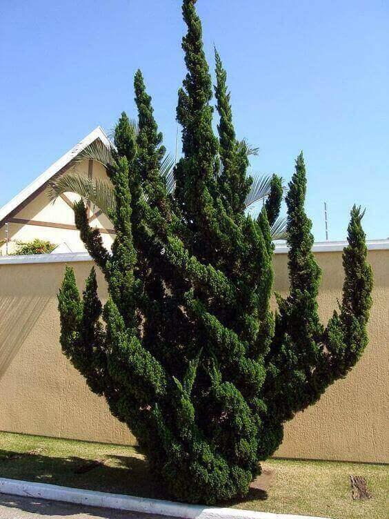 kaizuka - planta em quintal ornamental