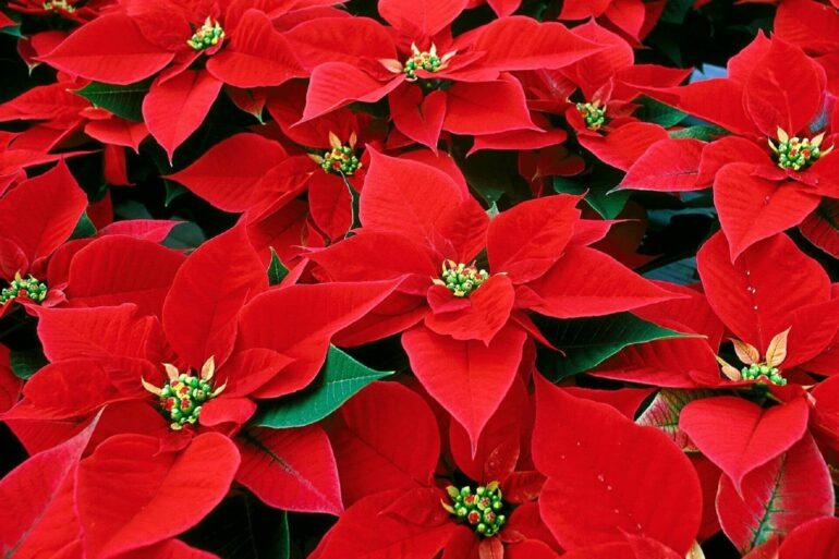 O vermelho da flor de natal é intenso e tem um grande apelo decorativo
