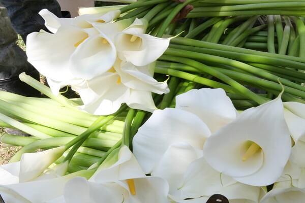 flores do tipo copo de leite