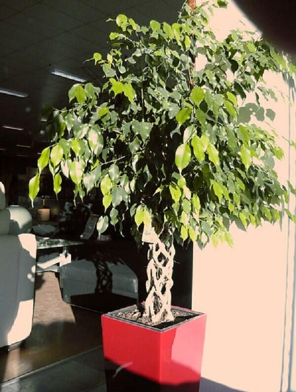 A Ficus-benjamina é uma planta que filtra as impurezas do ar