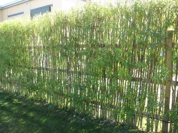 Cerca viva de bambu plantada para delimitar a área do terreno