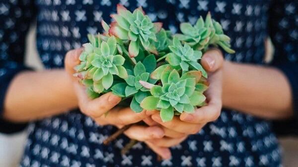 Como cuidar de um jardim de suculentas