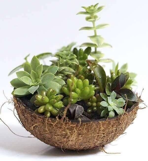 Utilize meia casca de coco seco para montar seu mini jardim de suculentas