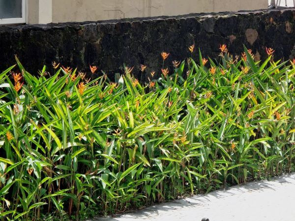 Helicônia papagaio de coloração laranja no jardim