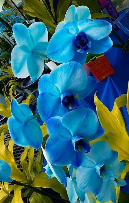 orquídea azul - arranjo de orquídeas simples