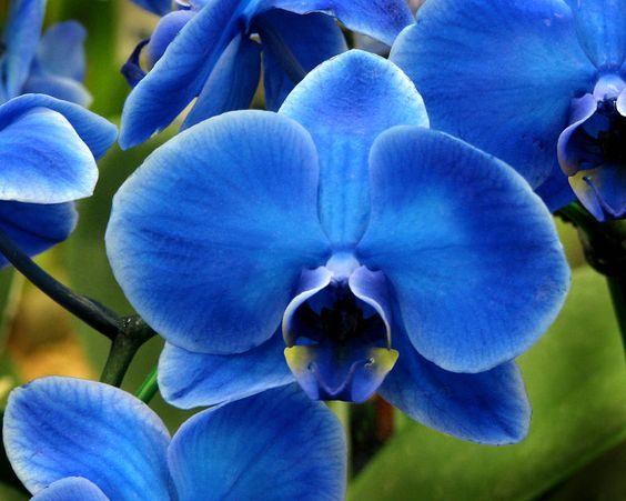 orquídea azul - detalhe de pétala da orquídea azul