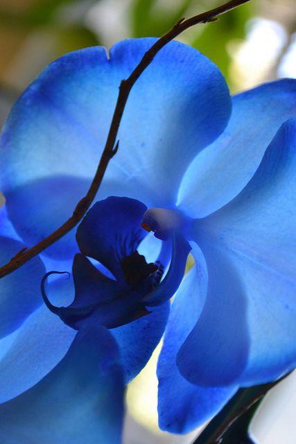 orquídea azul - detalhe de parte de dentro de orquídea azul