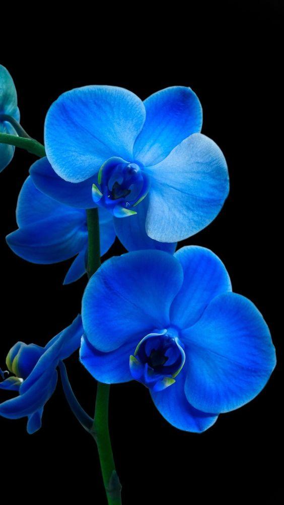 orquídea azul - detalhe interno de orquídeas azuis