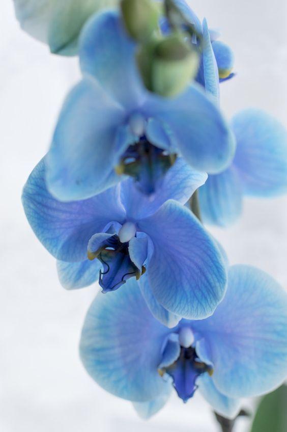 orquídea azul - detalhes de orquídea azul