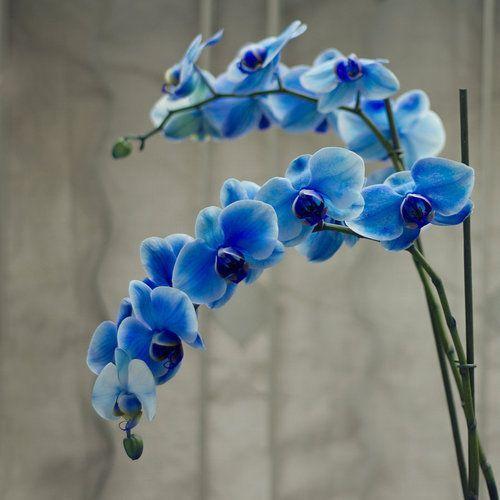 orquídea azul - orquídea azul adulta
