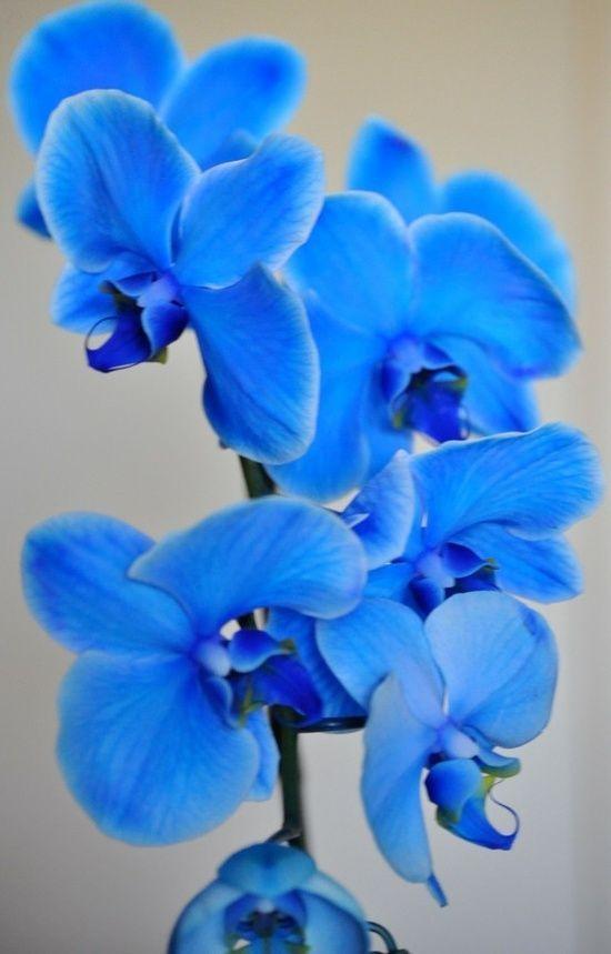 orquídea azul - orquídea azul claro simples