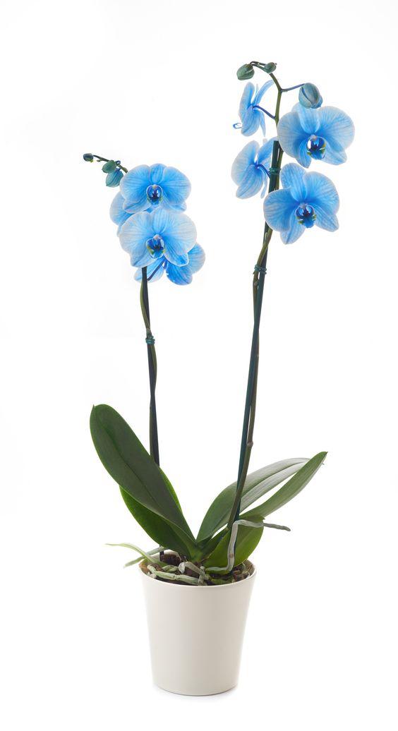 orquídea azul - orquídea azul com poucas folhas