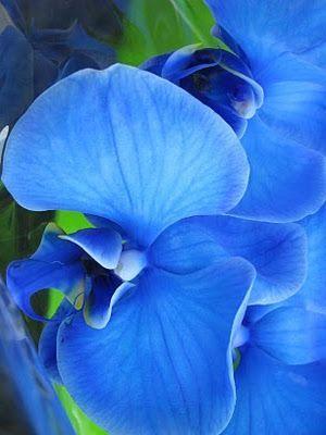 orquídea azul - orquídea azul detalhe